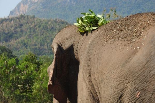 stages elephants elephant vu de derriere avec feuilles sur la tete